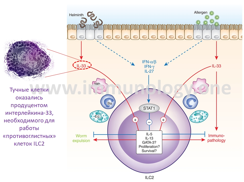 как иммунитет борется с глистами