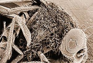 Дрозофила, мутантная по гену Toll, заросла грибками и погибла, так как у неё нет иммунных рецепторов, распознающих грибковые инфекции